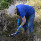 Otari volunteer working in tussock